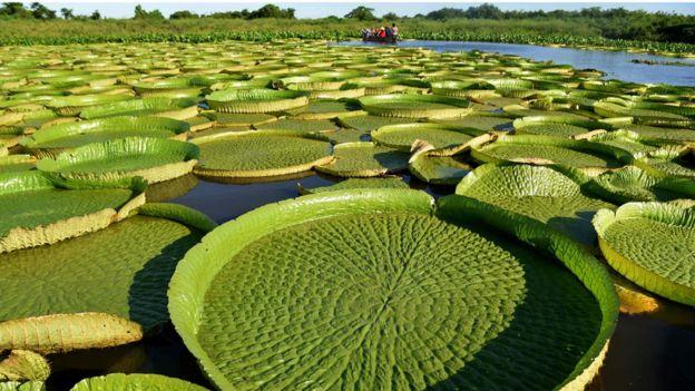 lirios de agua gigantes paraguay